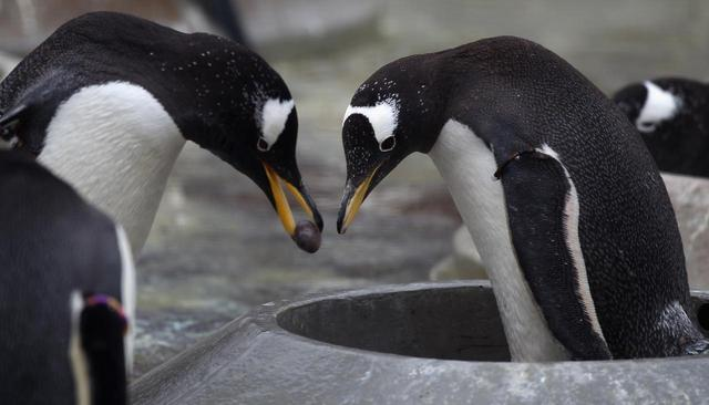 画像: ペンギンの同性カップルが養子を迎える