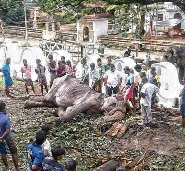 画像: その後倒れてしまったティキーリ。ⒸSave Elephant Foundation/Instagram