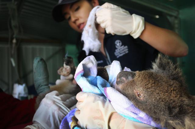 画像: 火災によってやけどを負ったコアラを手当てする獣医師。