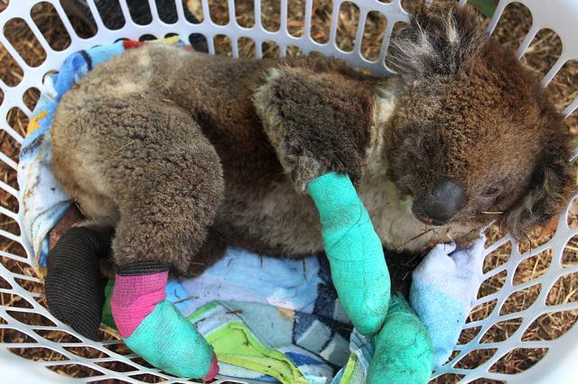 画像: 救出されたコアラの多くはひどい火傷を負っている。