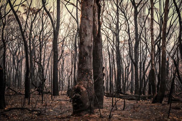 画像: 動物たちに食料や住処を提供する森の回復が急がれるが、広範囲に及ぶ被害の復旧は長期化する見込み(ニューサウスウェールズで12月30日に撮影)