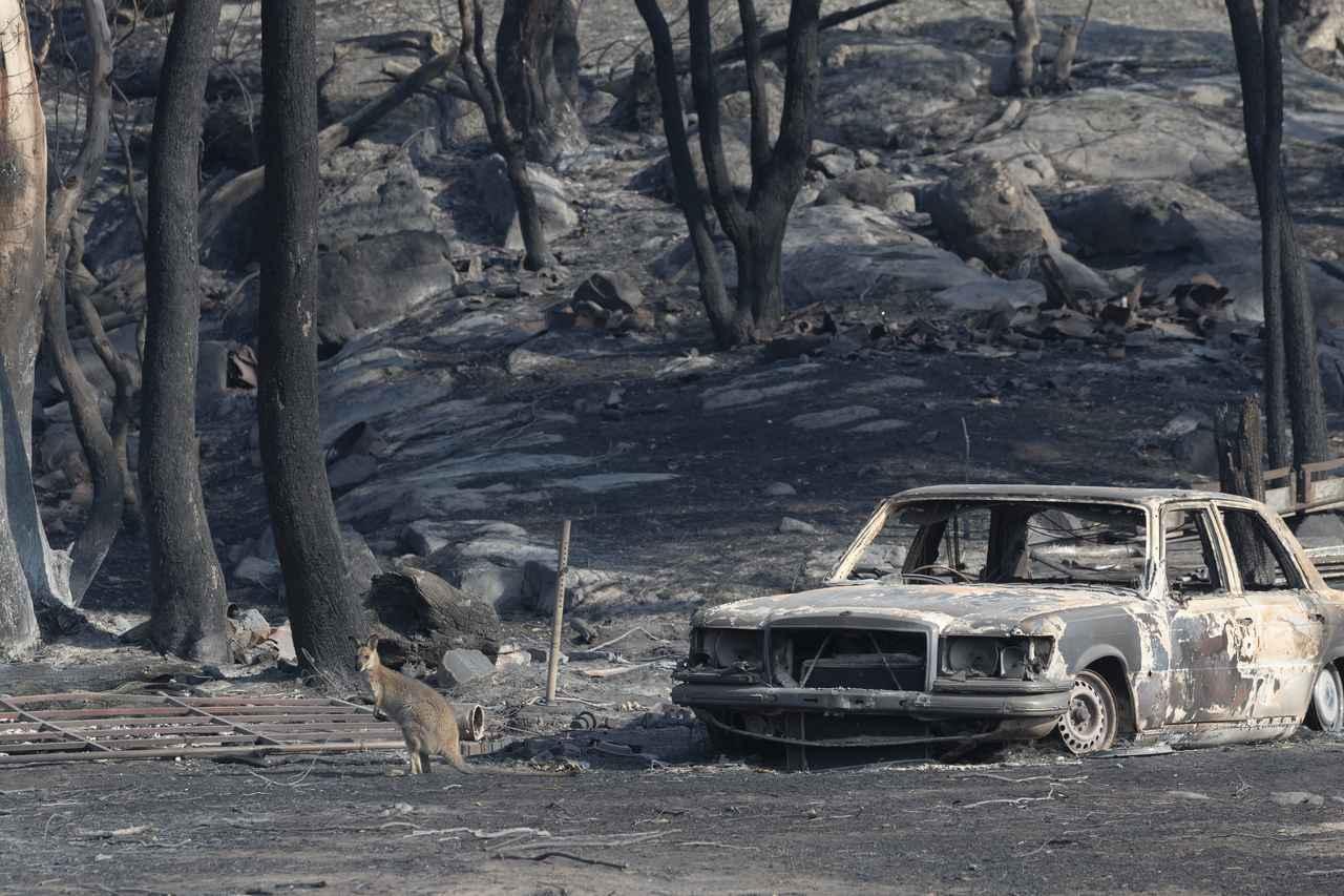 画像: 食料となる草がなくなった焼け野原に立つカンガルー(ニューサウスウェールズで2019年11月11日に撮影)