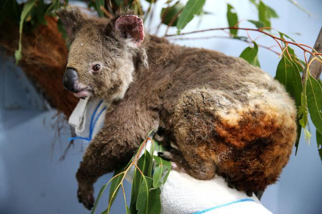 画像: ポート・マッコリー・コアラ病院で保護されたやけどを負ったコアラ(コアラ病院にて2019年11月29日に撮影)