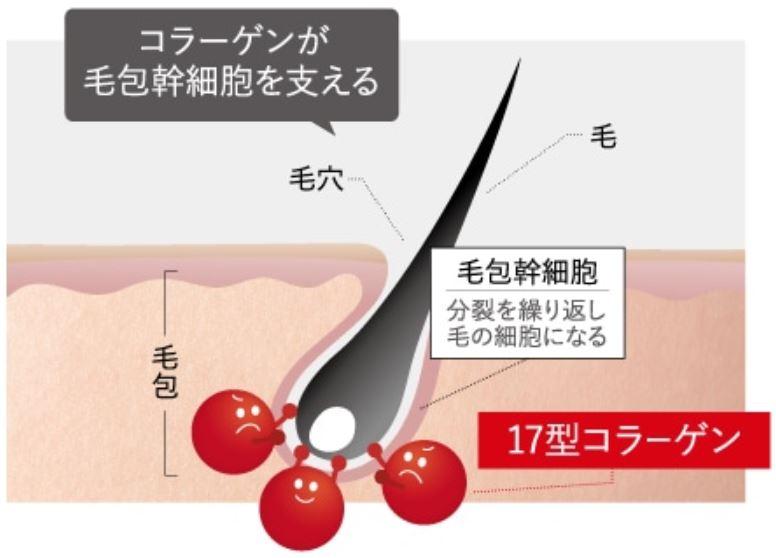 画像2: 加齢による薄毛は、 コラーゲンの減少が原因 と研究結果