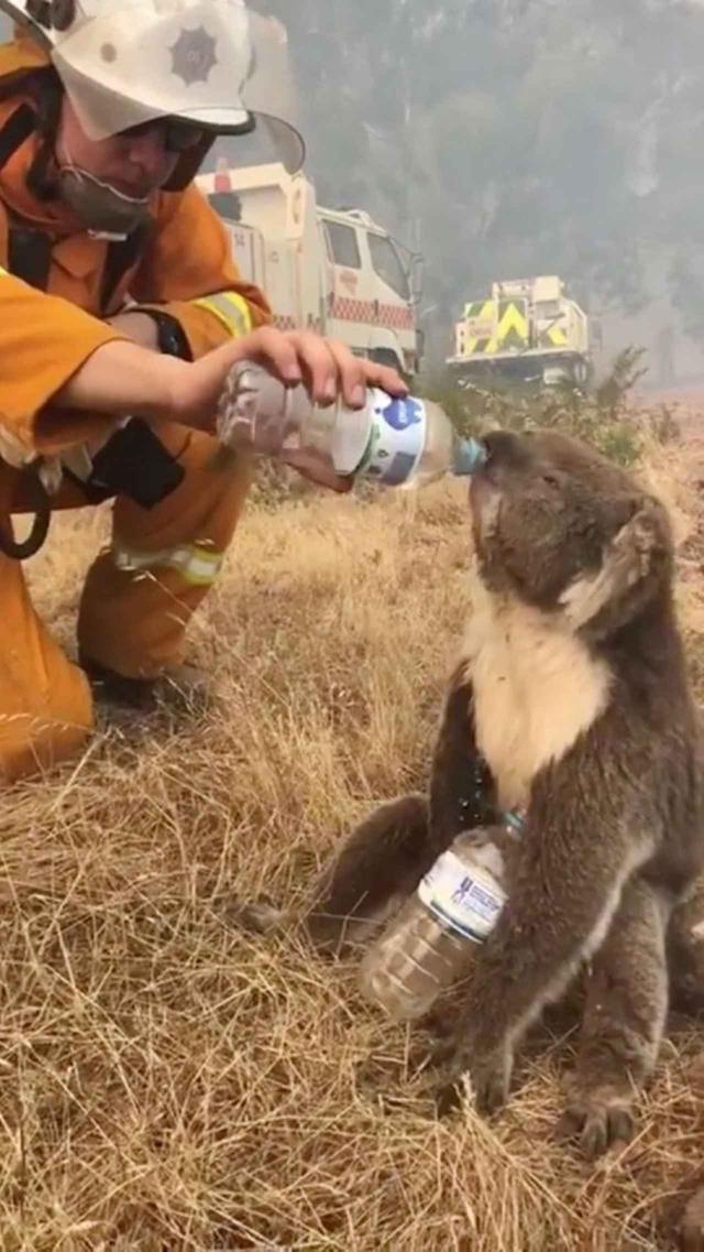 """画像: コアラに水をあげる時は""""要注意"""""""