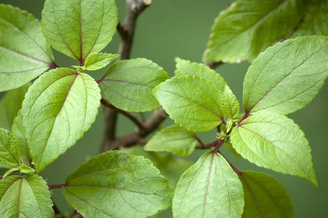 画像: ママキの葉。