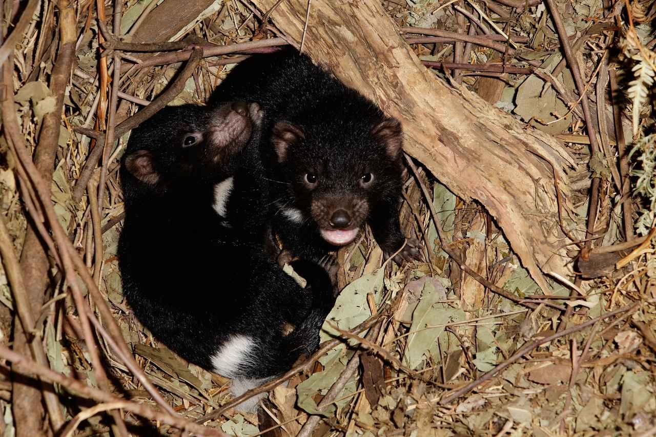 画像: 絶滅危惧種のタスマニアデビルを豪州本土に