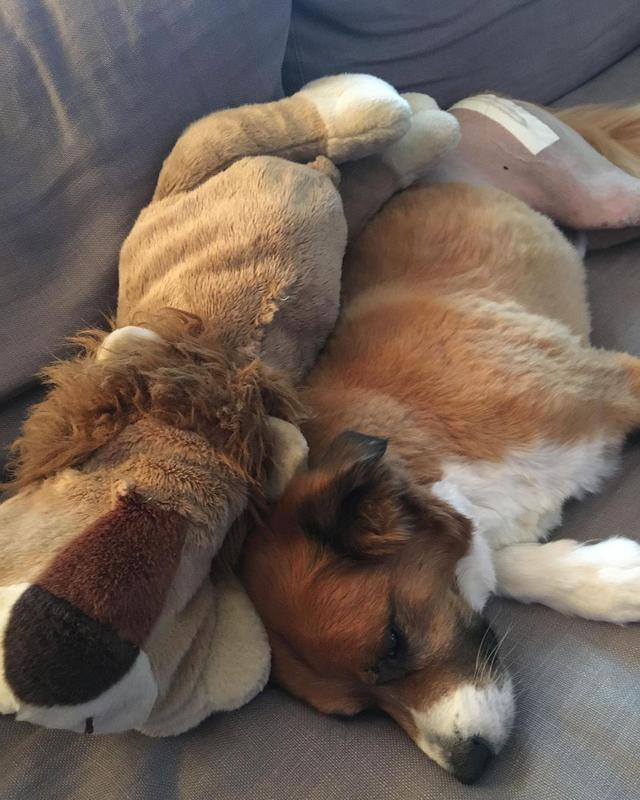 画像3: 愛犬ドジャーとぬいぐるみの手術を報告
