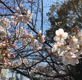 画像1: 靭公園の桜開花状況