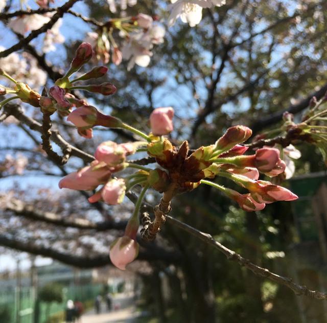 画像2: 靭公園の桜開花状況