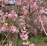 画像1: 服部緑地公園の桜開花状況