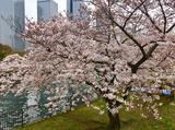 画像1: 大阪城公園の桜開花状況