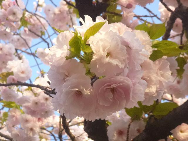 画像: 造幣局  :  桜の通り抜け(大阪)
