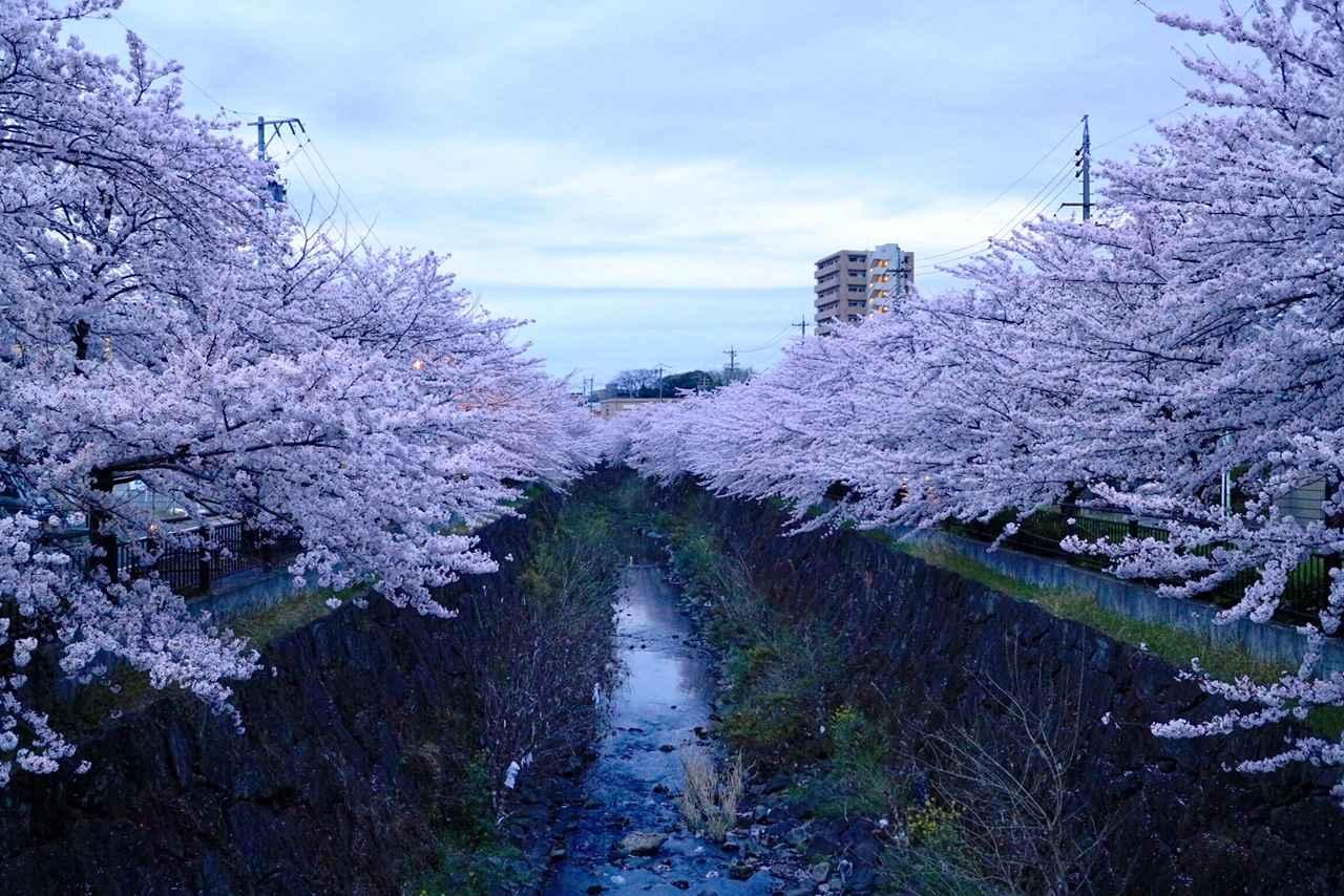 画像: 「日本さくら名所100選」の1つ名古屋・山崎川。