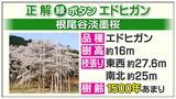 画像2: 「根尾谷淡墨桜」の品種、わかりますか?