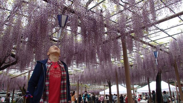 画像3: 薫風寄り添い ゆれる藤の花 愛知・江南市の旅