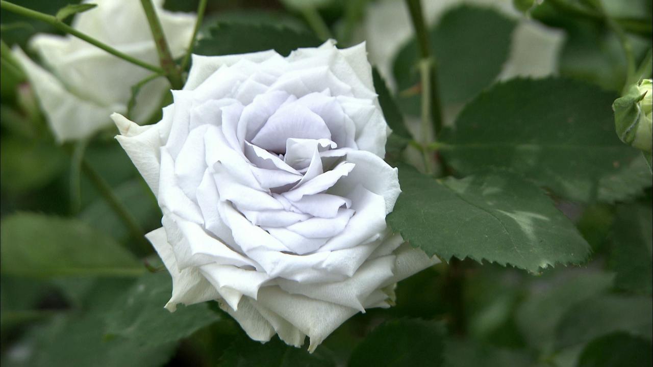画像12: 薔薇の香りに包まれる町 岐阜・揖斐大野の旅