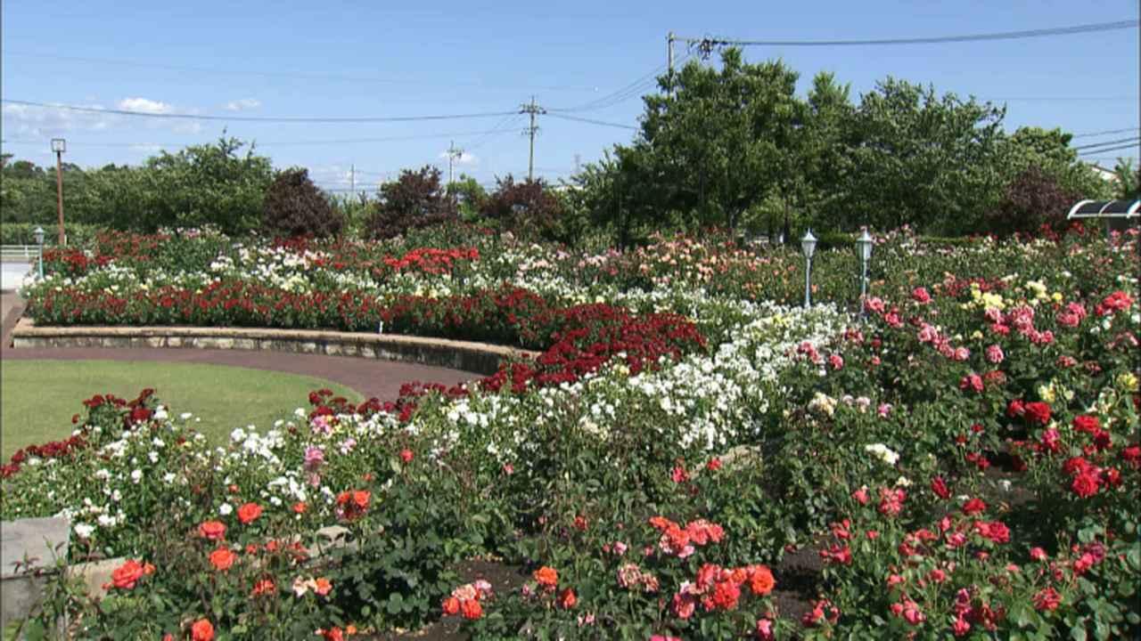 画像8: 薔薇の香りに包まれる町 岐阜・揖斐大野の旅