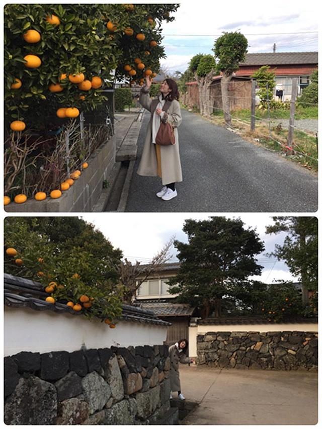 画像: 萩らしい夏みかんと白壁の風景です。石塀とコートが一体化しています。