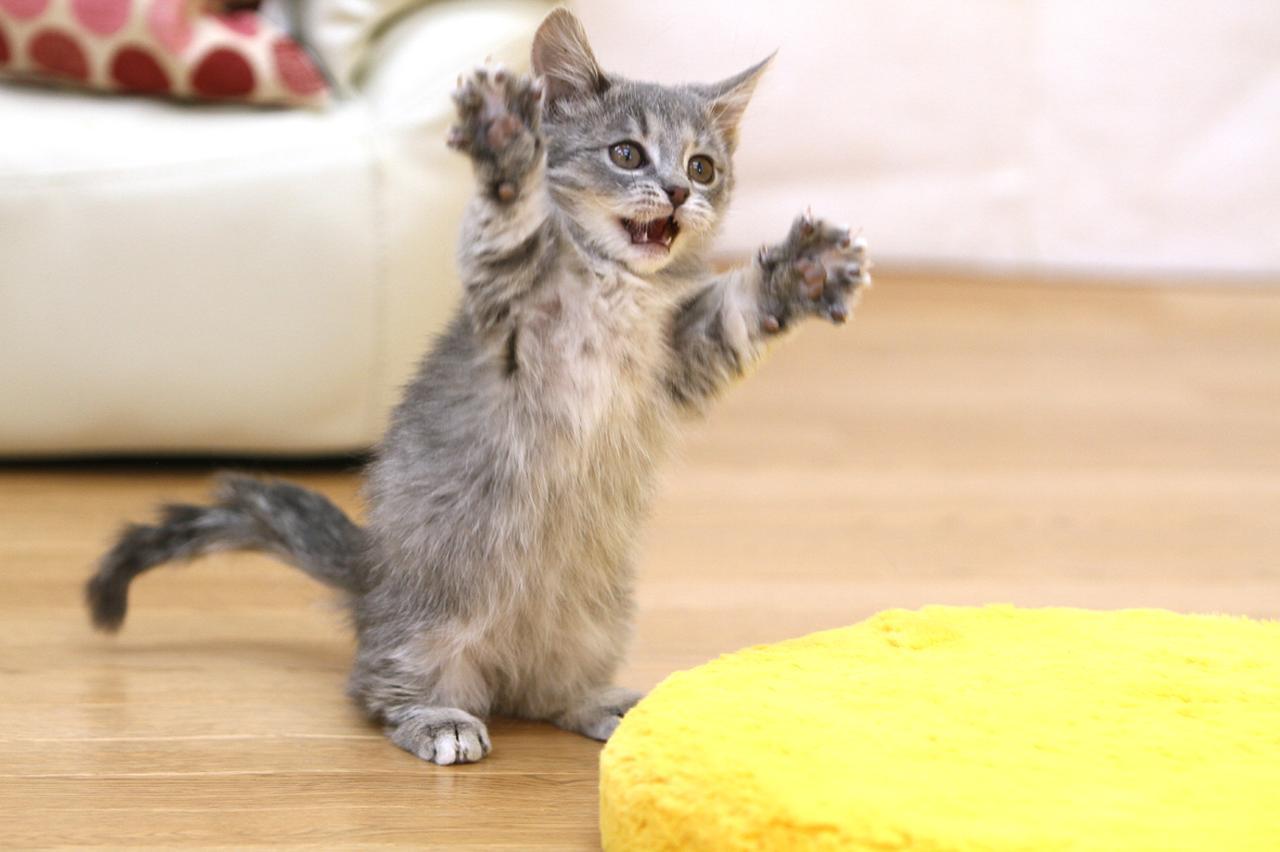 画像: 踊っているようなネコ。ネコじゃらしを激しく動かし、興奮した瞬間を撮影した。 ■キヤノンEOS 7D EF70-200mmF2.8L  IS シャッター速度優先AE (1/250秒)WB:オート ISO640