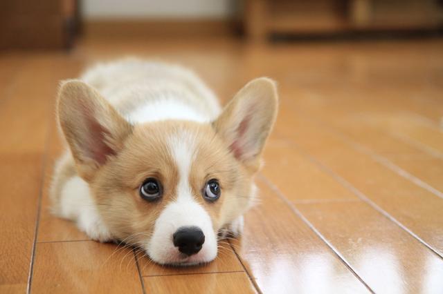画像: 上目づかいをする子イヌ。イヌは黒目部分が多いが、白が出るとより表情豊かに見える。 ■キヤノンEOS 7D  EF-S 17-55mmF2.8 IS 絞り優先AE (F2.8)WB:オート ISO1250