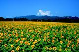 画像: 一面のひまわり畑。なんと約50万本。