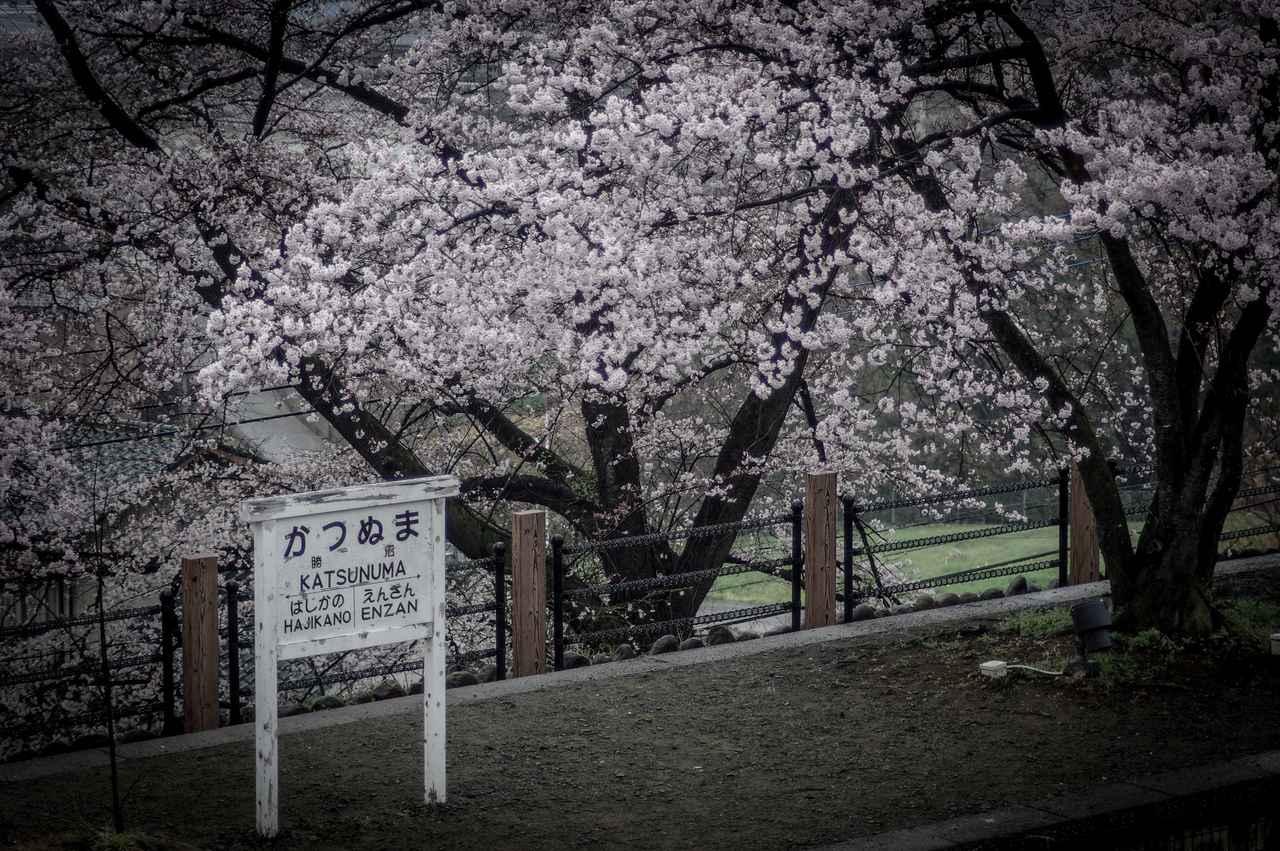 画像: 小・中・高校生の部 大賞 「勝沼の桜」岡優成様(千葉県・14歳)