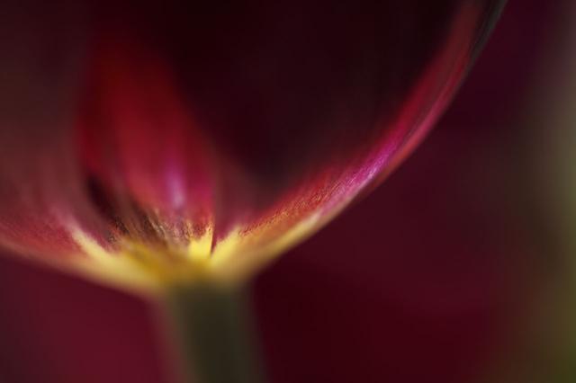 画像: ▲濃い色の花で明るい色の付け根を狙うのも技。背景も同色や暗い色でまとめるのがポイントで、付け根よりも明るい色を入れてしまうと印象が弱くなってしまうので要注意。■絞りF3.2 【共通撮影機材&データ】■キヤノンEOS 5D Mark Ⅱ 同6D EF100mmF2.8L マクロIS 絞り優先AE WB:太陽光 IS100