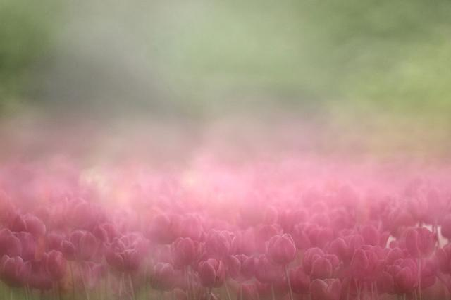 画像: ▲曇り日は花びらの反射が少なく、色を出しやすい条件。柔らかな雰囲気に仕上げるために、マニュアルフォーカスでピントをずらしたボケだけの画像を多重露光で重ね、霧の中のような雰囲気に仕上げました。 ■ケンコーミラーレンズ500mmF6.3DX 絞りF6.3 ISO400