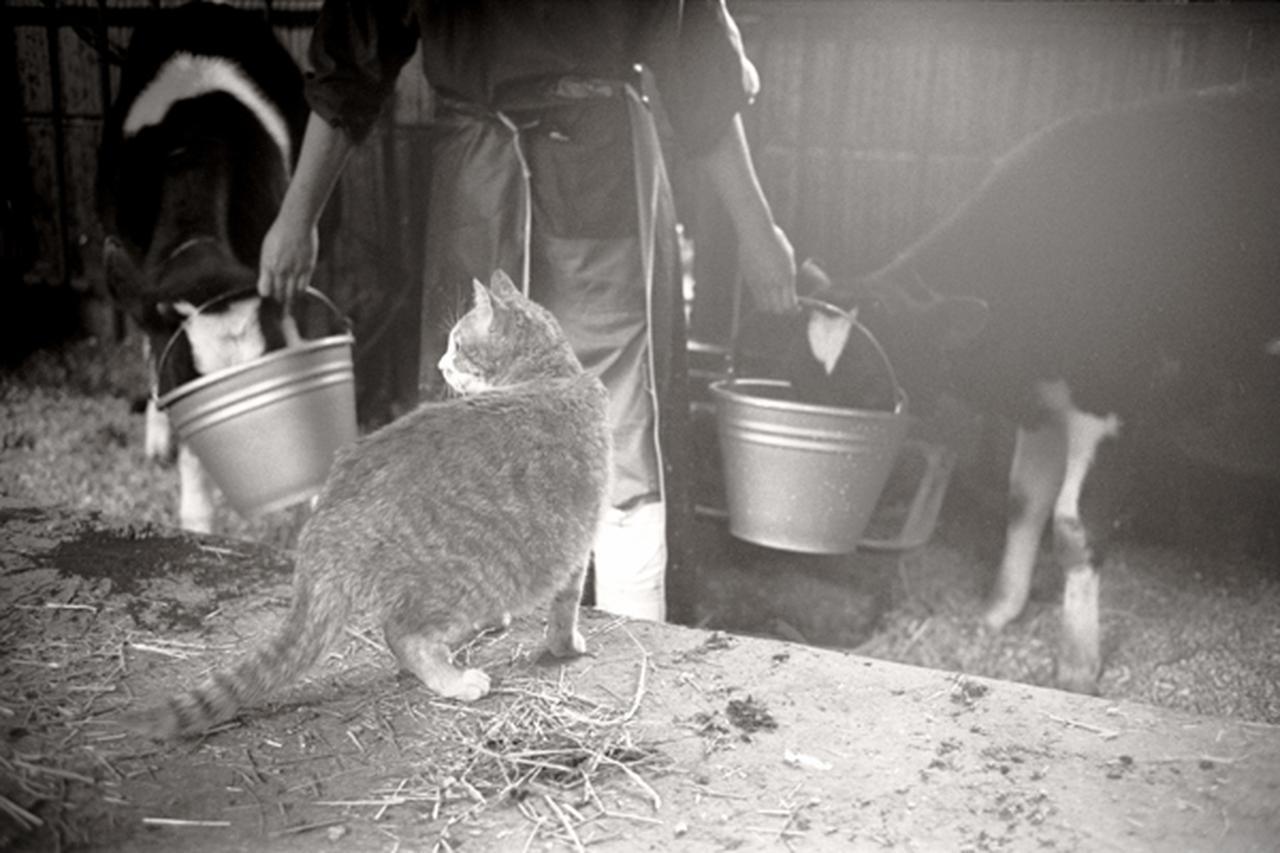 画像3: 曽根原昇さん「ネコとウシの穏やかな関わり」