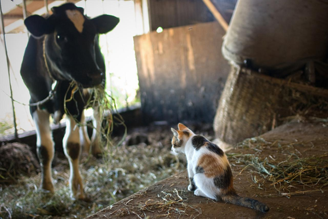 画像10: 曽根原昇さん「ネコとウシの穏やかな関わり」
