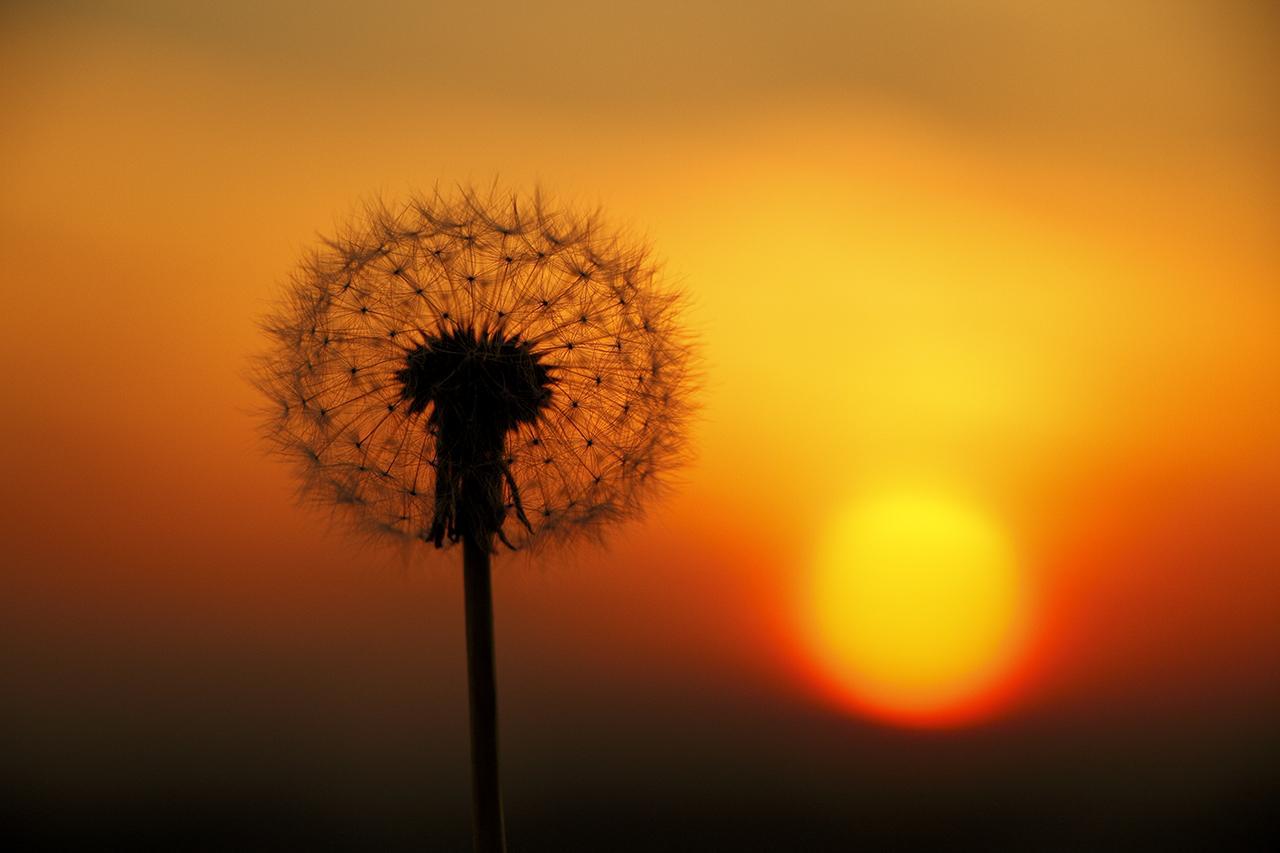 画像: ▲タンポポの綿毛に寄ってひとまわり大きく撮ると、夕日も大きくなる。夕日を大きくフレーミングしていないので対角線上に配置したが、もう少し大きかったら綿毛と夕日を重ねてもOK だ。 ■ EF18-135mmF3.5-5.6IS 絞りF5.6 マイナス0.7 露出補正 WB:日陰 ISO200