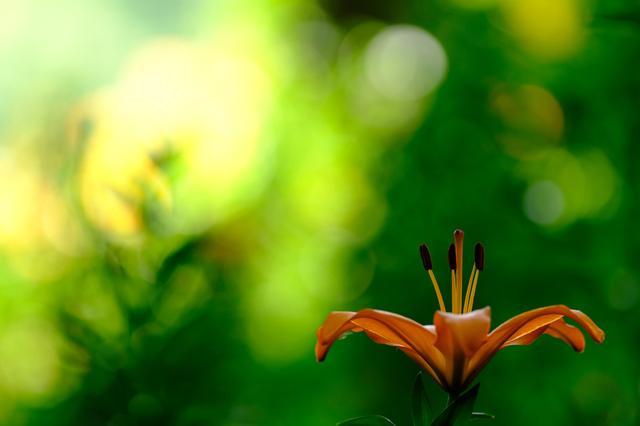 画像: ユリ 森の中にひっそりと咲く雰囲気を出そうと、日陰に咲いているユリを探す。でも華やかさも少し欲しいなと、あえて陽の当たる背景を取り込んだ。日陰のグリーンも、日向のグリーンもキレイに再現してくれる富士だからこそ、なんだよね。 ■XF90mmF2 R LM WR 絞りF2 プラス1.0露出補正 *共通撮影データ=絞り優先AE W B:太陽光 ISO400 フィルムシミュレーション:ベルビア