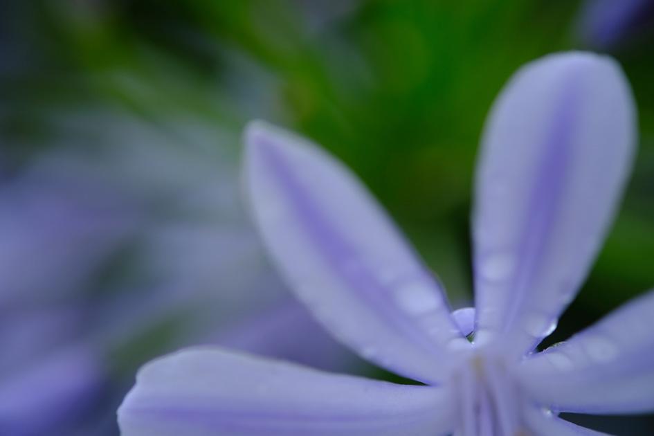 画像: アガパンサス アガパンサスの雰囲気は残しつつ、水滴を強調するために花びらの後ろ、軸についている水滴にピントを合わせた。微妙なピント合わせも、ピーキング機能をオンにしておけば、ピントの合っている場所を色で確認できる。 ■XF60mmF2.4 R Macro 絞りF2.4