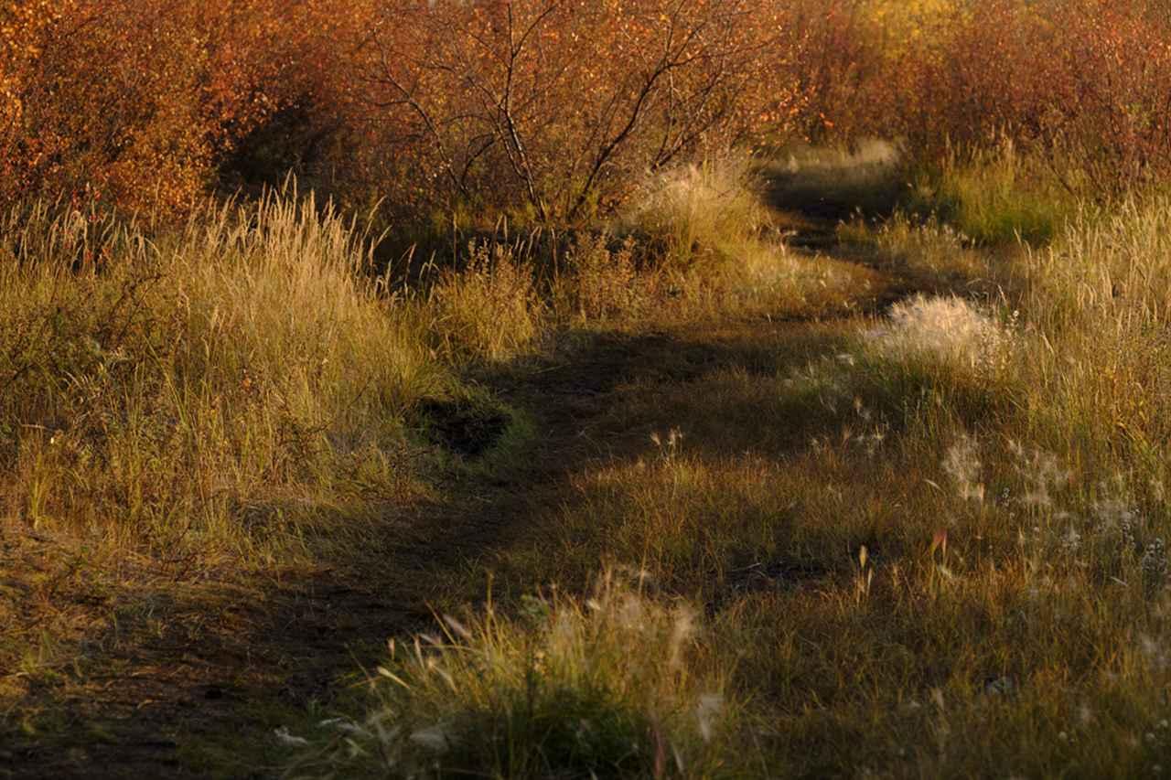 画像: 冷たい風が吹き抜ける湖畔脇のトレール(森林の踏み分け道)は、すでに晩秋が漂い夕日を浴びた草木が輝いていた。AFモードの[ALL]は被写体に合わせて素早く変更できる。ここでは風で揺れ動く下草に[ゾーン]で大きくピントを合わせて撮影、センチメンタルな風情を表現するために[アスティア]を選択し、絵画チックな描写を得た。■XF50-140mm F2.8 R LM OIS WR 絞り優先AE(F5 1/680秒) マイナス1.0露出補正ISO200 フィルムシミュレーション:アスティア