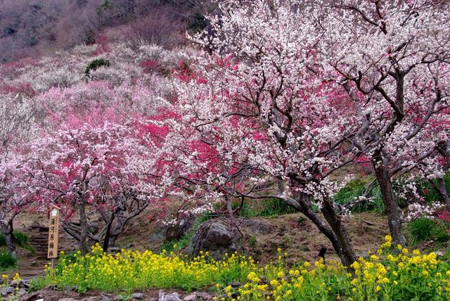 画像: 湯河原梅林「梅の宴」を下から眺めた写真。見頃を迎えた梅の花が出迎えてくれる。