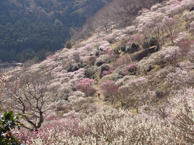 画像: 見頃となった梅の木々を散策路の梅林最高地点から眺めることができる。平地の梅林とは違った視点で梅林散策が楽しめるのだ。