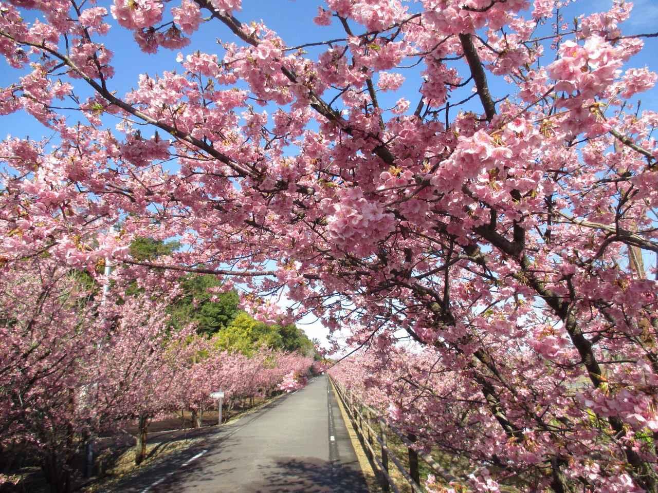 画像: 桜の見ごろは例年、2月下旬~3月上旬です