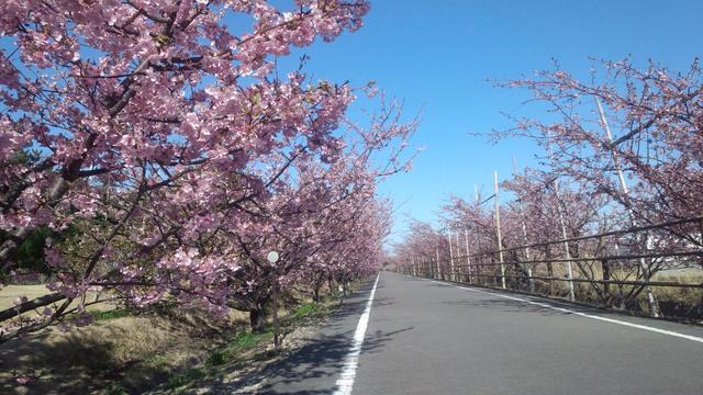 画像: 桜並木は約600m続いています