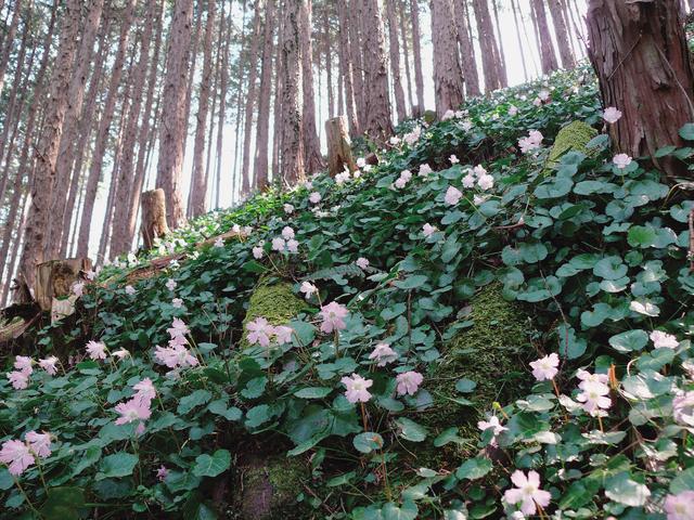 画像: 淡いピンクの岩うちわの花で覆い尽くされた斜面