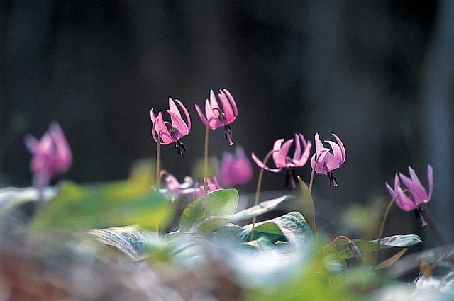 画像: 可愛らしい薄紫色のカタクリの花