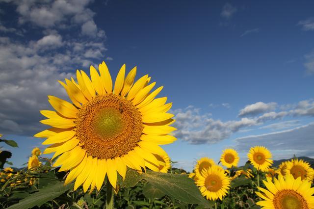 画像: 様々な顔をしたひまわりが太陽を見つめている