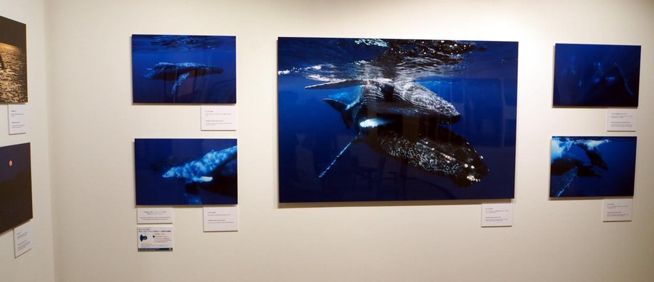 画像: 長年ザトウクジラの姿を追い続け、約40点の作品で構成している。