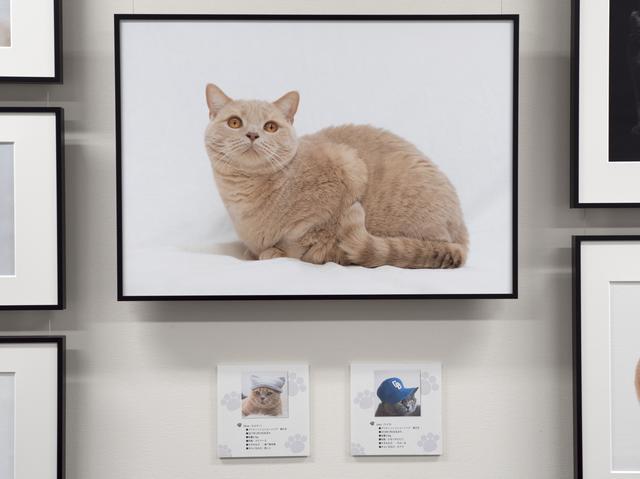 画像: 愛猫のブリティッシュショートヘアのエルマー。下はエルマーとライカのプロフィール。
