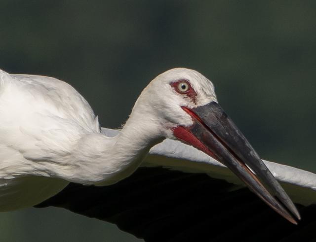 画像: ▲飛翔する鳥をAFがしっかりと捕捉すると同時に、しっかりとした描写力を両立させていることがわかる。