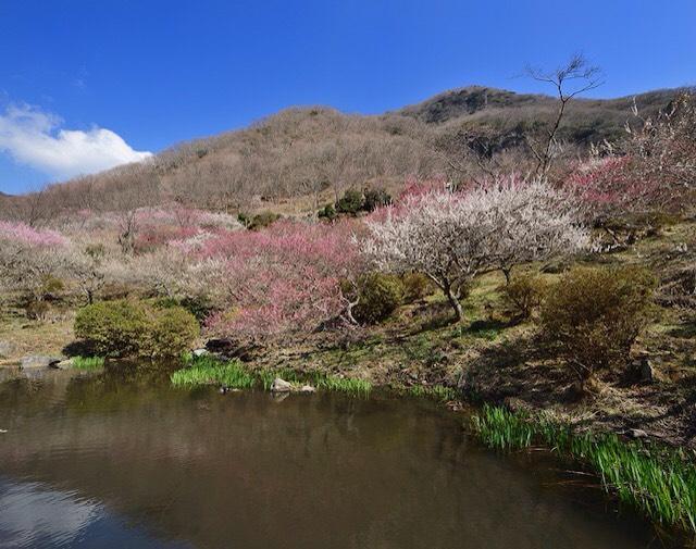 画像: 池に映える湯河原梅林