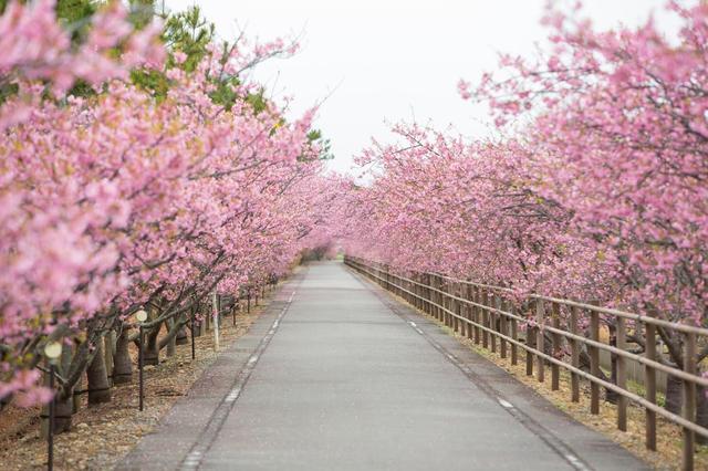 画像: 入場&駐車場無料!静岡県最南端の岬のまち御前崎市で楽しむカワヅザクラ