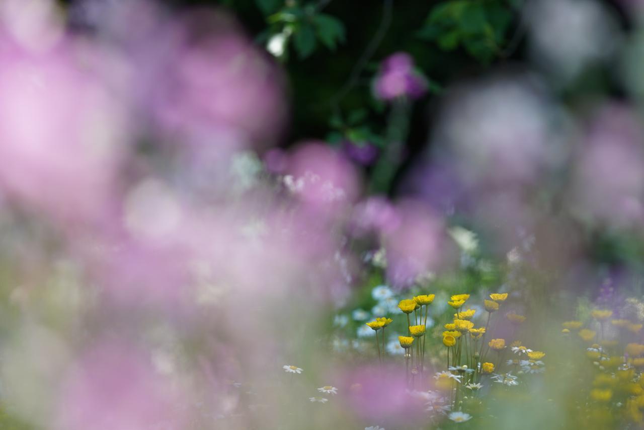 画像: こちらも春の定番、ムギナデシコ。