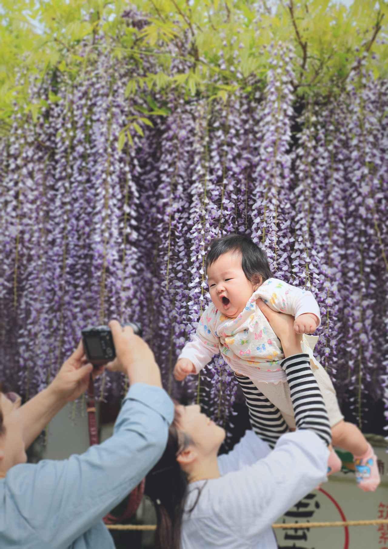 画像1: 「長者の藤」の花房は1メートルを超えるとよ!