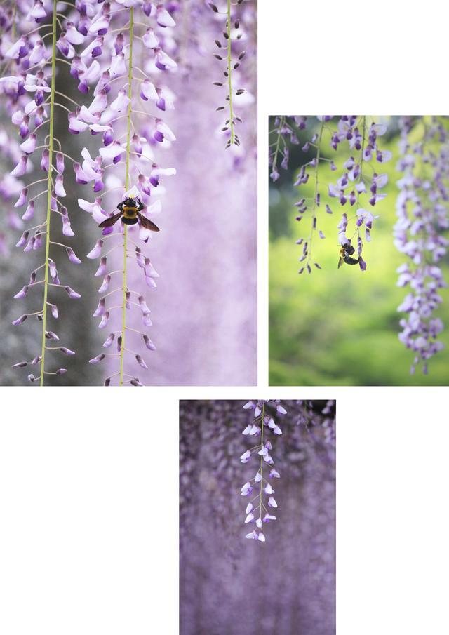 画像2: 「長者の藤」の花房は1メートルを超えるとよ!
